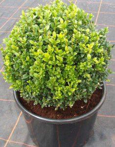 گیاه شمشاد سبز